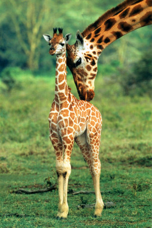 giraffe-and-baby.jpg