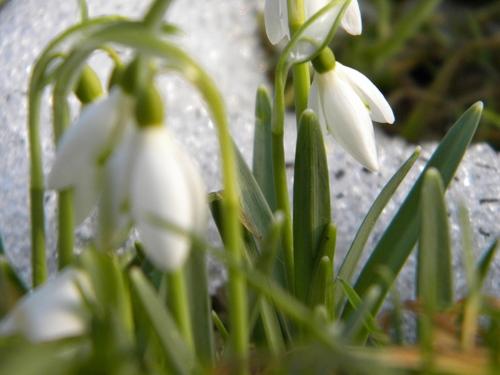 весна, подснежники, первоцветы.